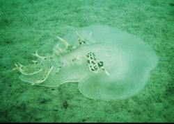 Tethys fimbria