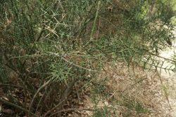 Branche sur Colletia